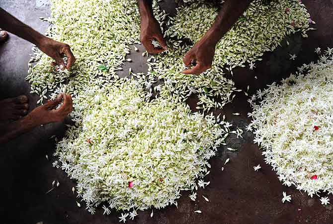 selecting-flowers-for-ittar-making