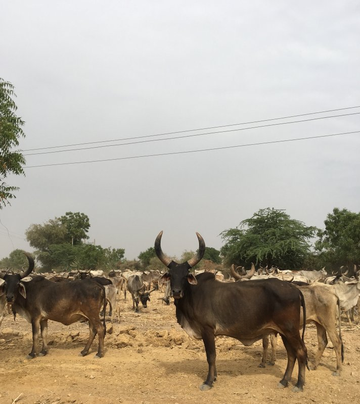 village_cattle_dholavira